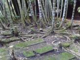 racinesbambou