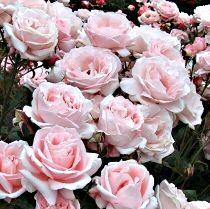 rosaiberflora
