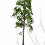 ARTE PAISAJISTA: Pinus sylvestris