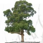ARTE PAISAJISTA: Eucalyptus globulus