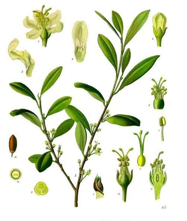 coca (Erythroxylum coca)