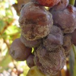 La BOTRYTIS una enfermedad vegetal que afecta a hortalizas y frutales
