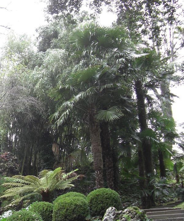 Trachicarpus3
