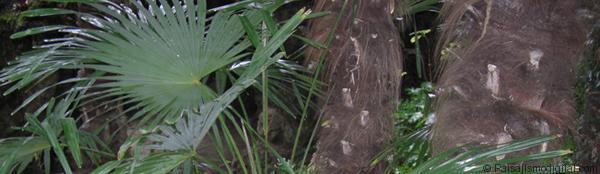 banner_trachycarpus