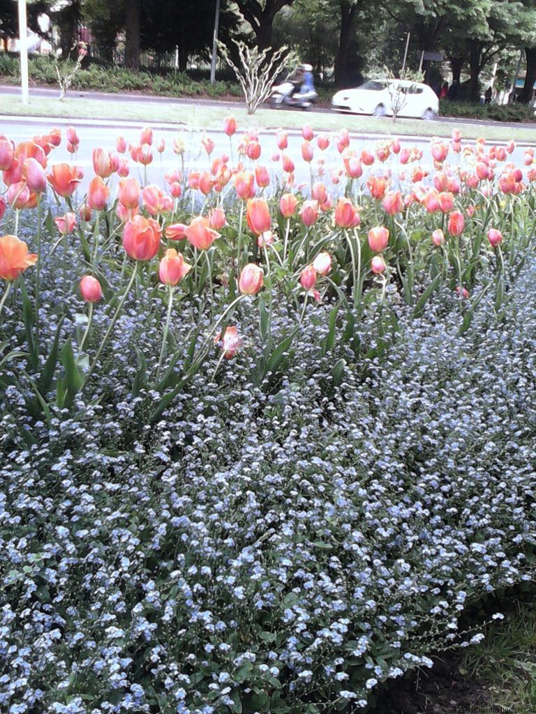 Tulipan su belleza efímera llega en primavera