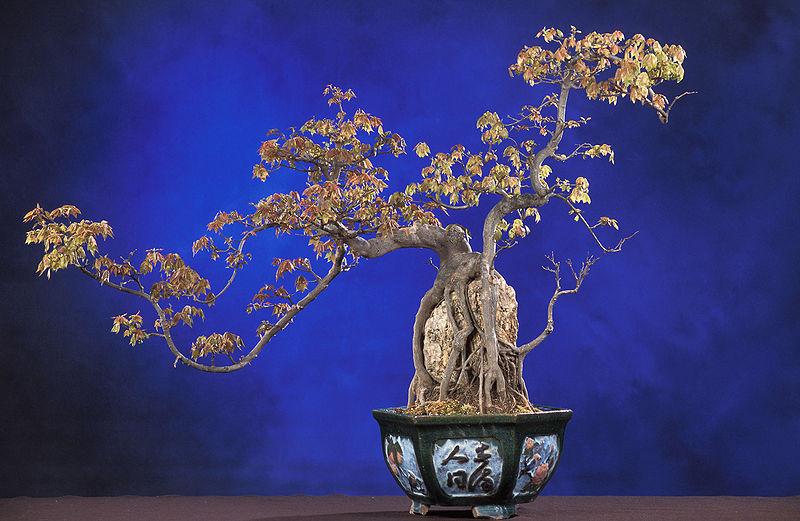 Bonsai Trident Maple