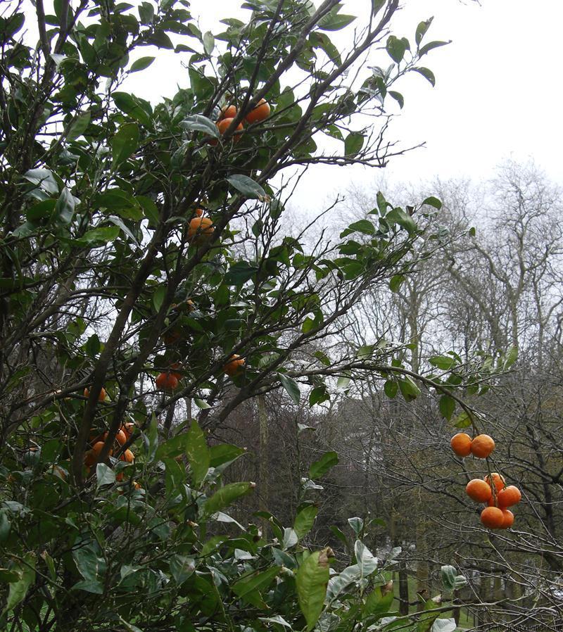 En primer plano, el color naranja intenso del fruto del Citrus sinensis