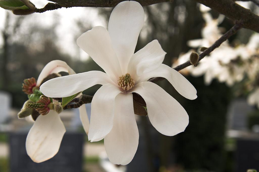 magnolia-1398919
