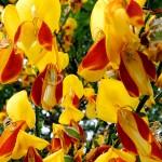 Las plantas del género CYTISUS buscan su sitio en los jardines