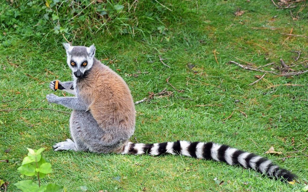 Tsingy lemur