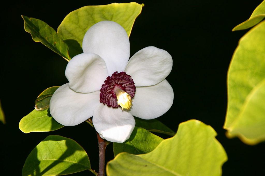flores nacionales asiáticas