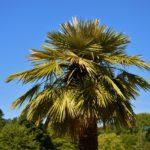 Las 11 PALMERAS más utilizadas en paisajismo y jardinería