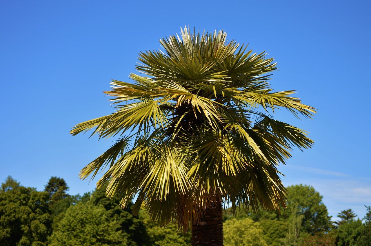 Las 11 palmeras m s utilizadas en paisajismo y jardiner a for Plantas decorativas para jardin