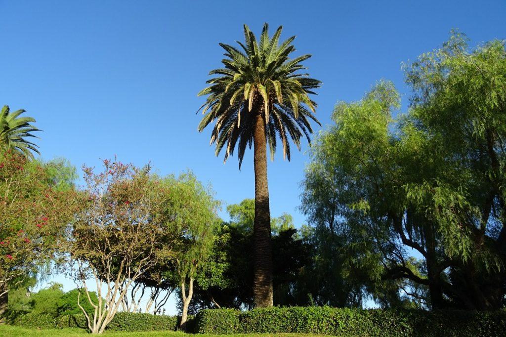 Palmas más usadas en el jardín - Palmera de Canarias