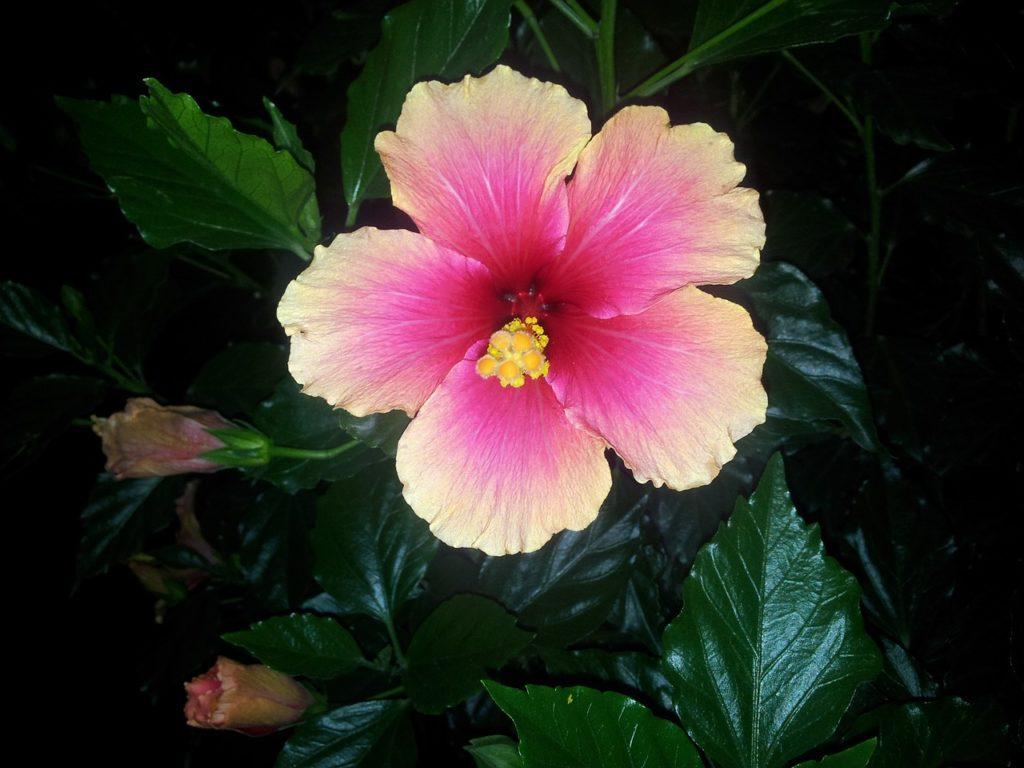 flores nacionales de Asia