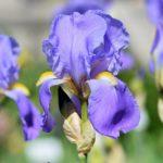 Flores nacionales de Europa (Tercera parte)