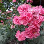 El PARQUE DEL OESTE de Madrid y su famosa rosaleda