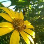 Abejas: Uso de plantas nativas con flor en el diseño de espacios verdes para su preservación