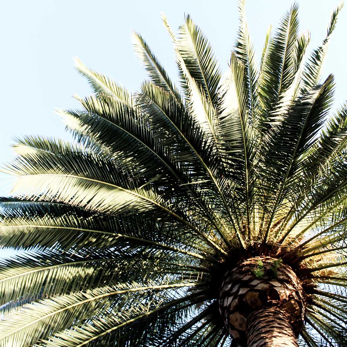Las mejores plantas para xerojardines - Palmera canaria
