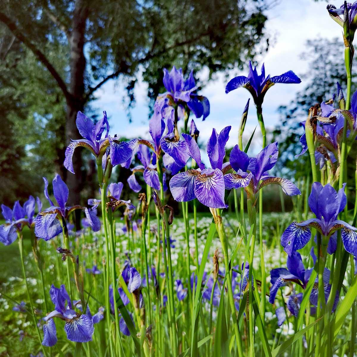 Flores nacionales de Europa (primera parte)