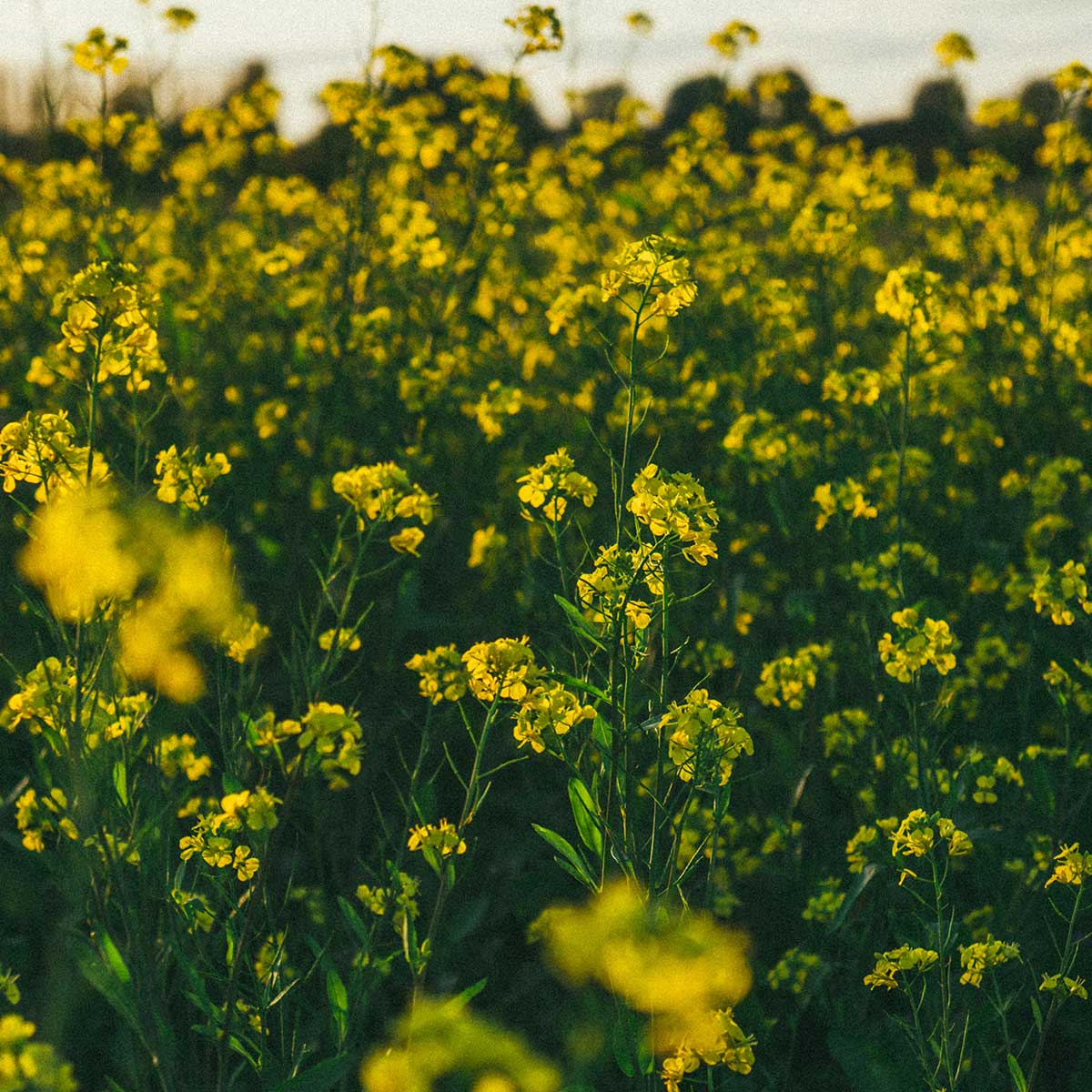 10 mejores plantas para otoño - Brassica
