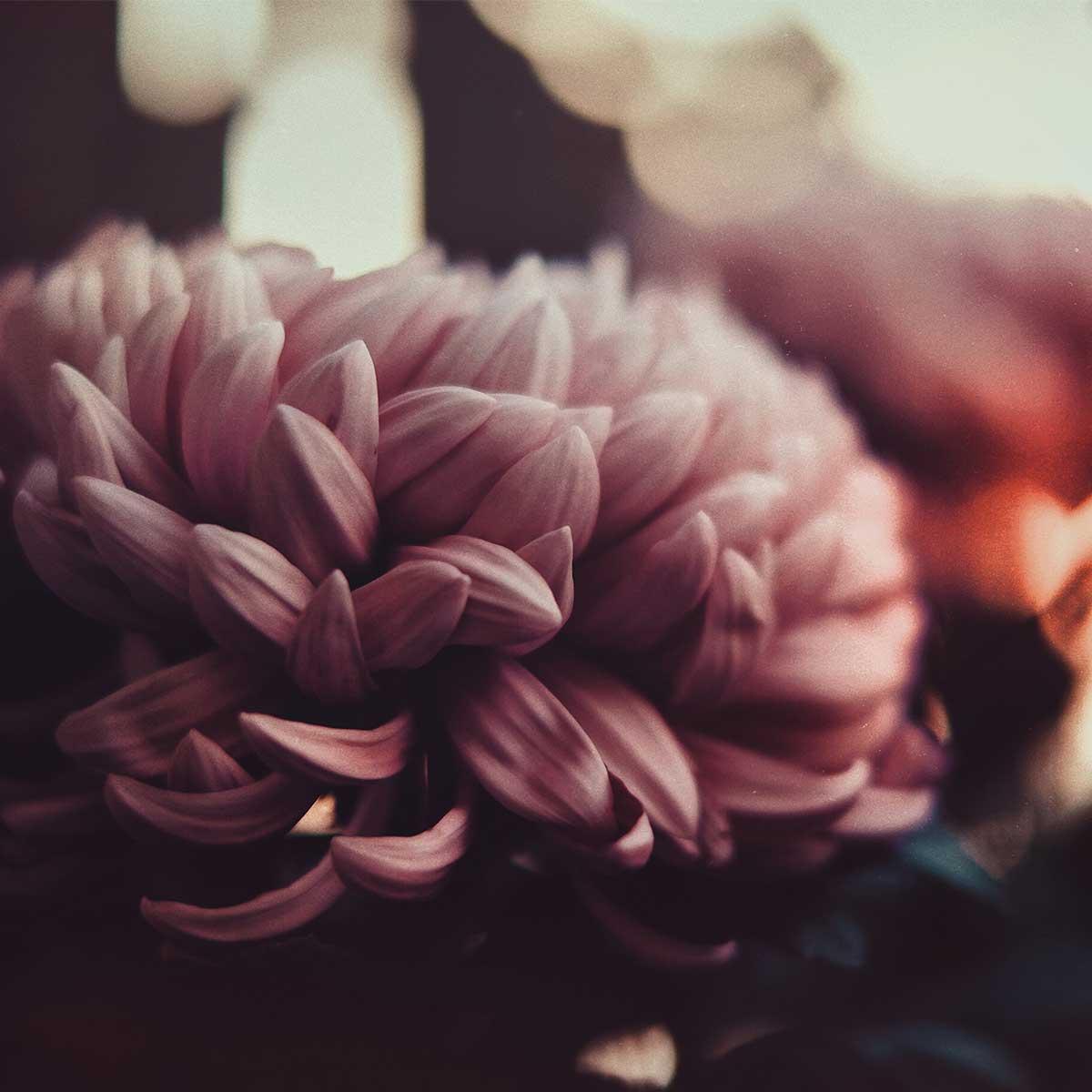 10 mejores plantas para otoño - Crisantemo