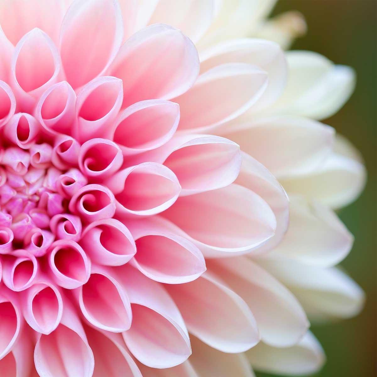 10 mejores plantas de otoño -Dalia
