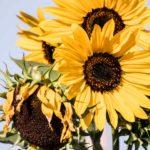 Flores nacionales de Europa (Segunda parte)