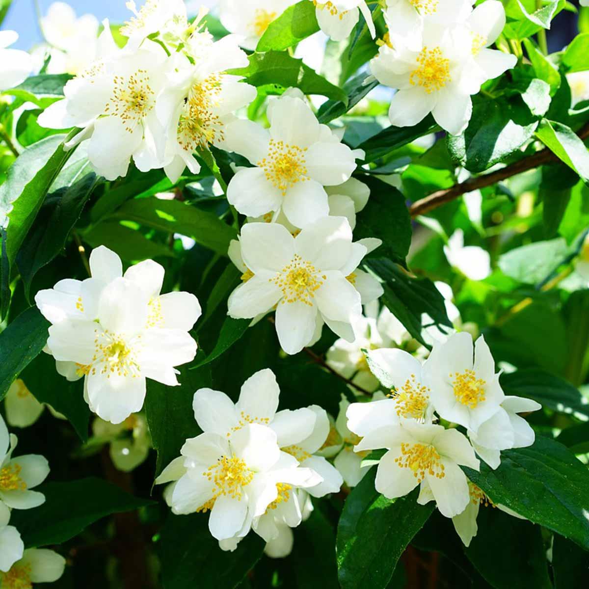 Mejores plantas para San Valentín - Jazmín