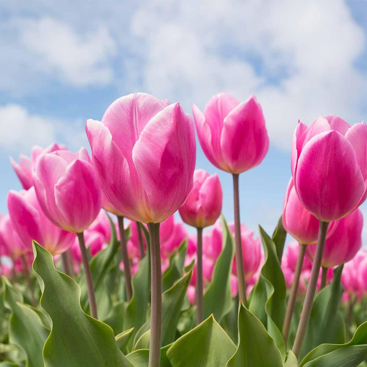 Mejores plantas para San Valentín - Tulipán