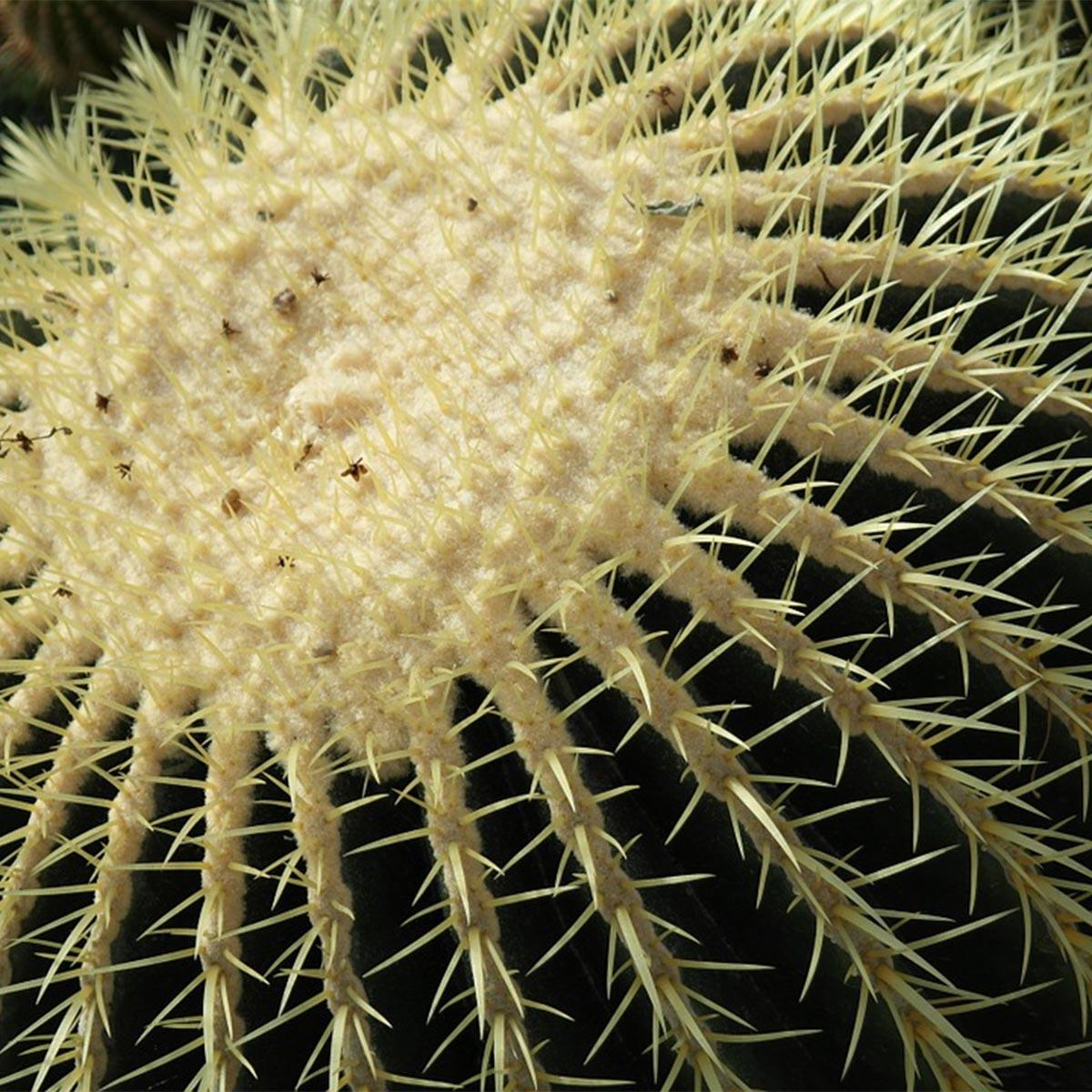 Plantas para jardines mediterráneos - Echinocactus grusonii
