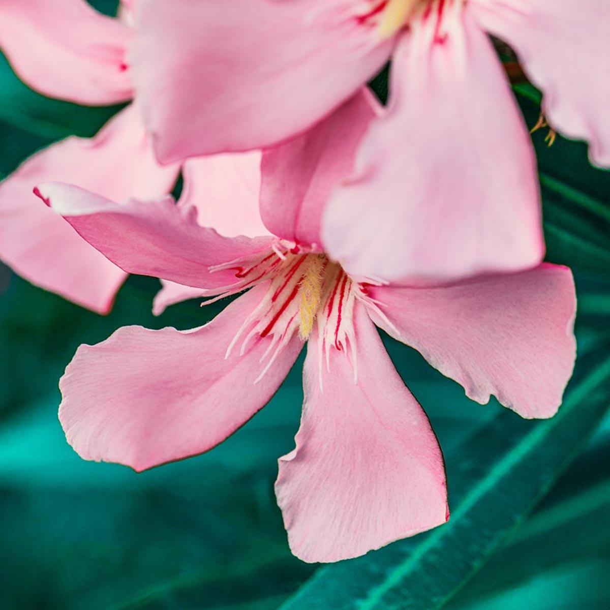 Arbustos florales para jardines residenciales - Adelfa