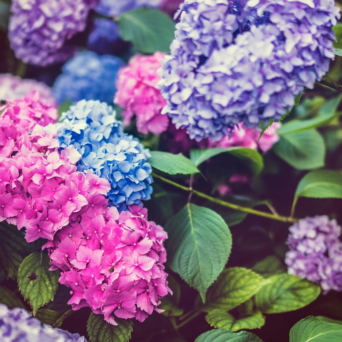 Arbustos florales para jardines residenciales - Hortensia