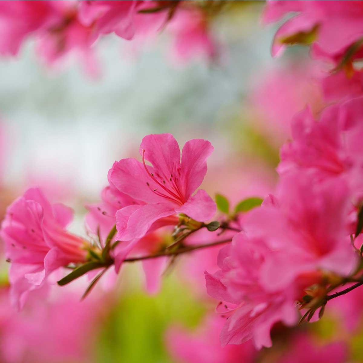 Plantas nacionales del continente asiático - Myrocarpus frondosus