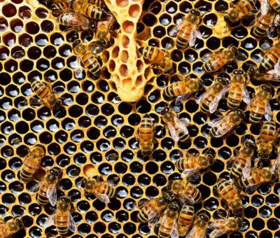Meliponicultura, una práctica sustentable al rescate de abejas y bosques