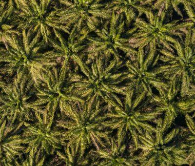Palma africana: ¿es posible su cultivo con prácticas sustentables?