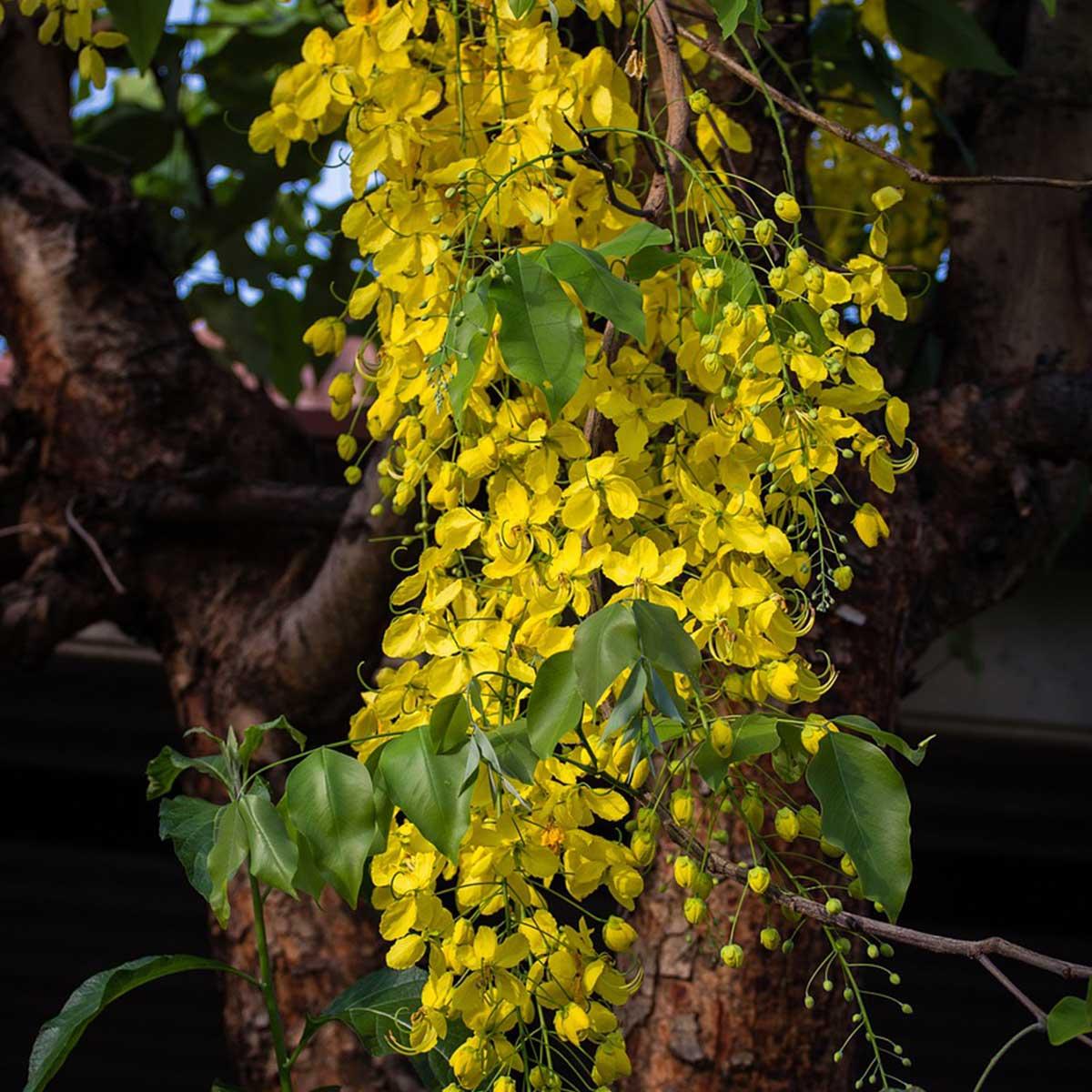 Plantas nacionales del territorio asiático - Cassia fistula