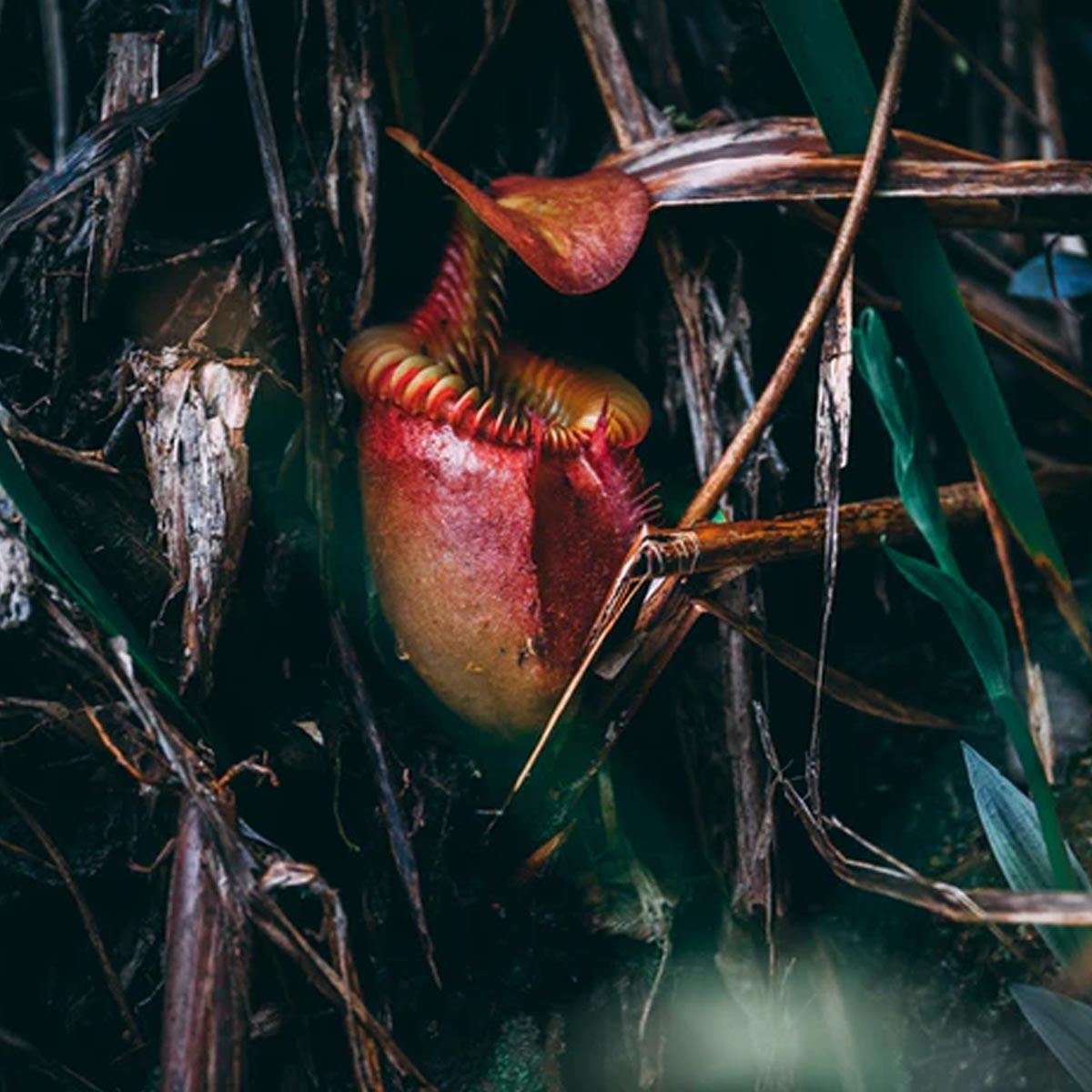 Plantas carnívoras ornamentales para tu jardín - Nepenthes bicalcaratan