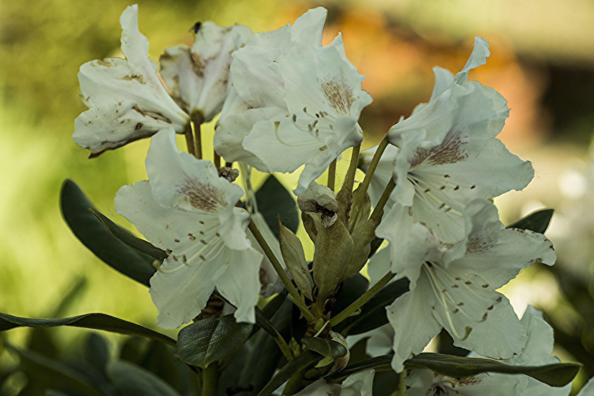 Rododendron (Azalea)