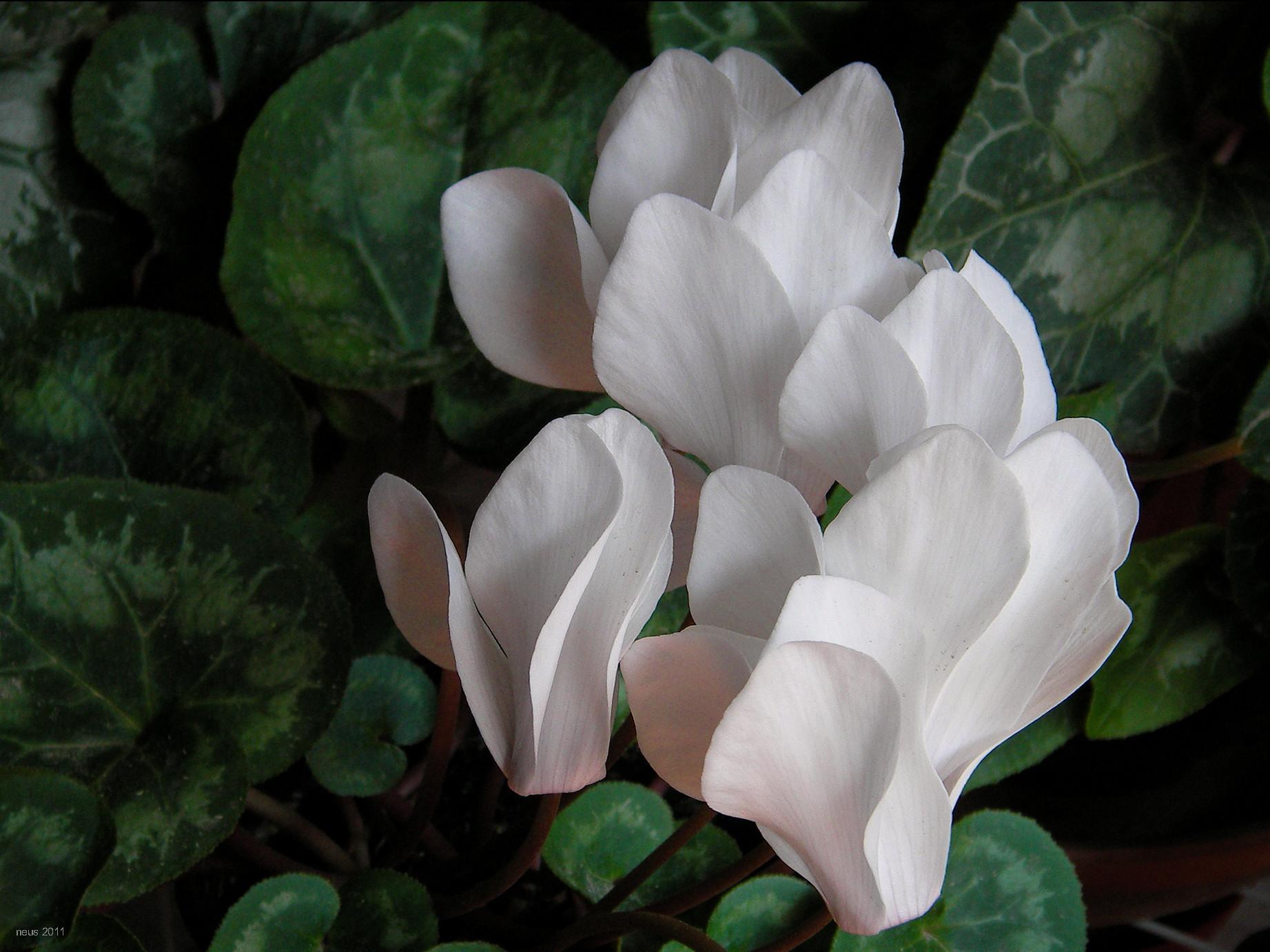 Plantas de sombra en otoño - Cyclamen persicum (Violeta de los Alpes)