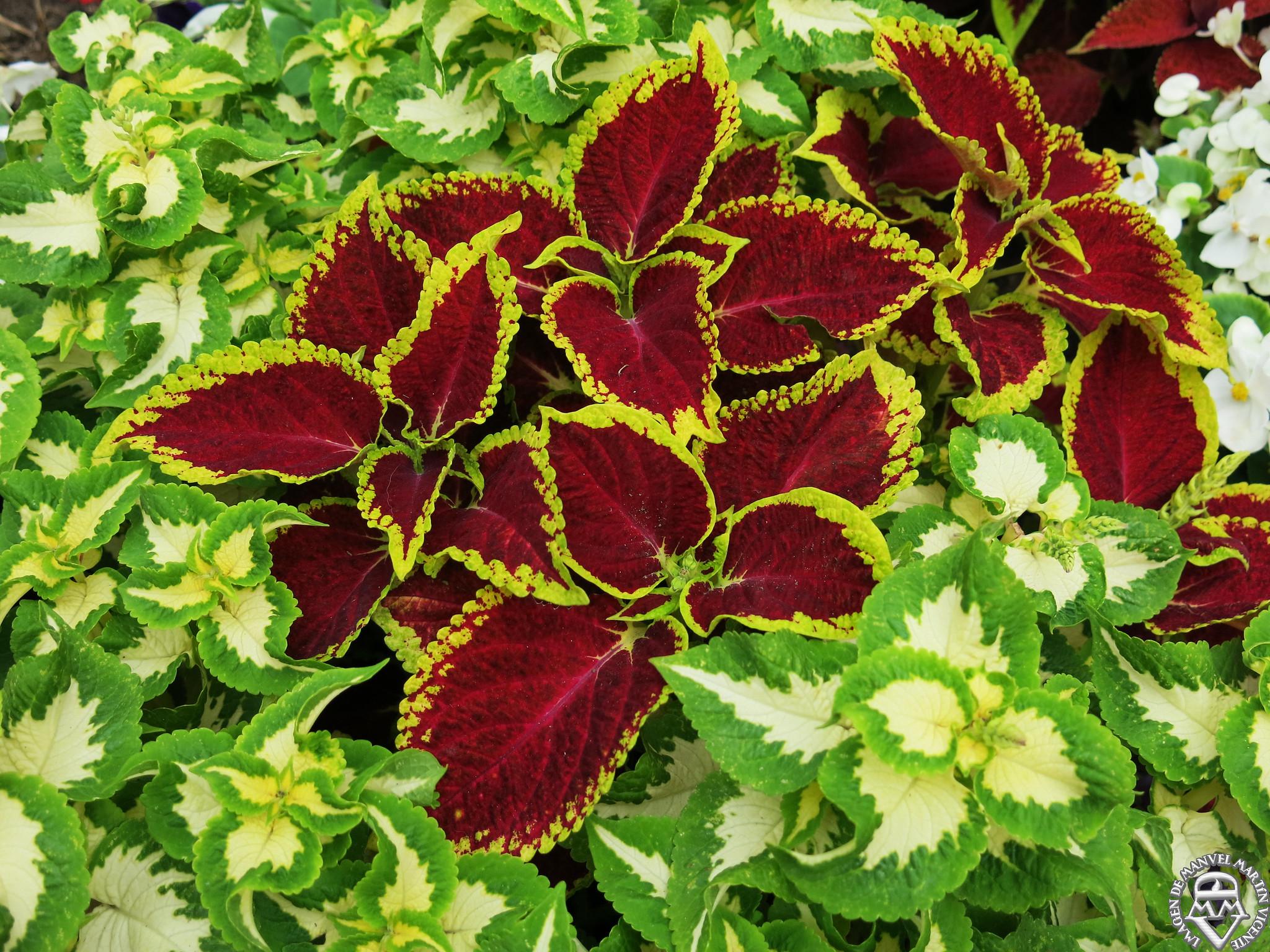 Plantas de sombra en otoño - Solenostemon (Cóleo)