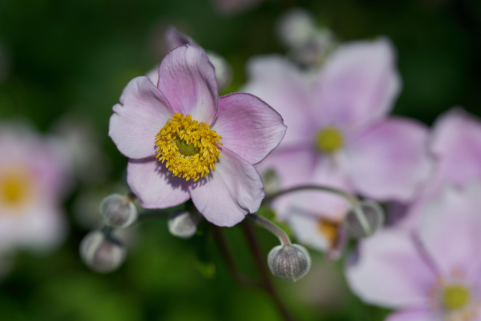 Anemone hupehensis (Anémona japonesa)
