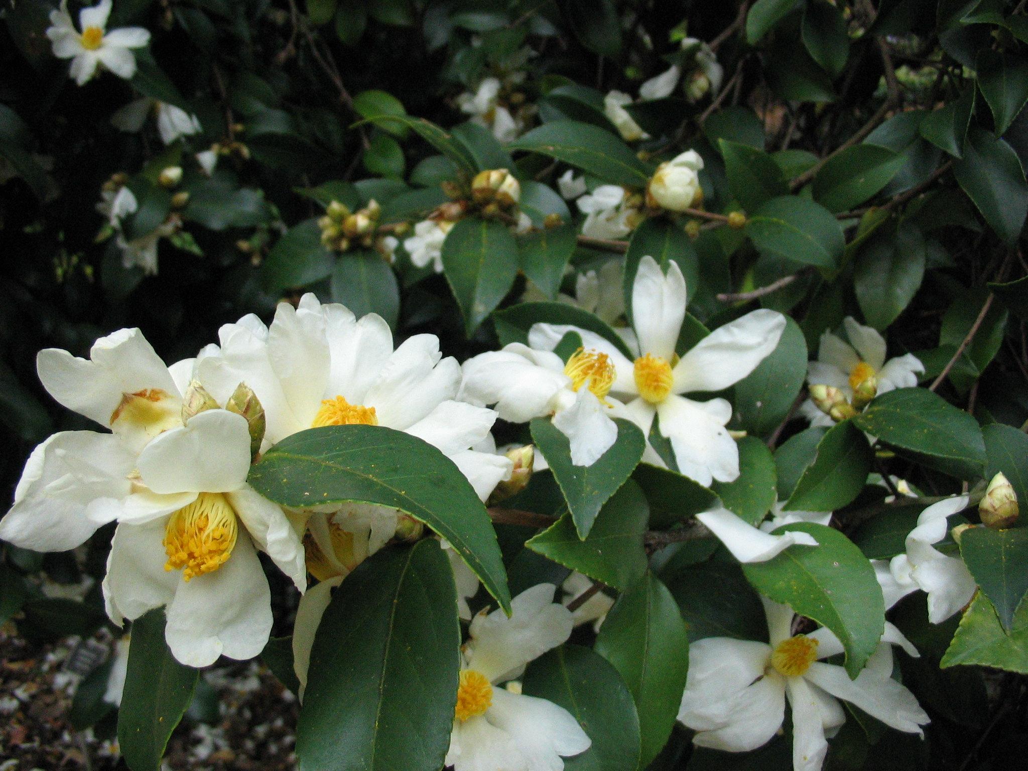 Camellia oleífera (Camelia)