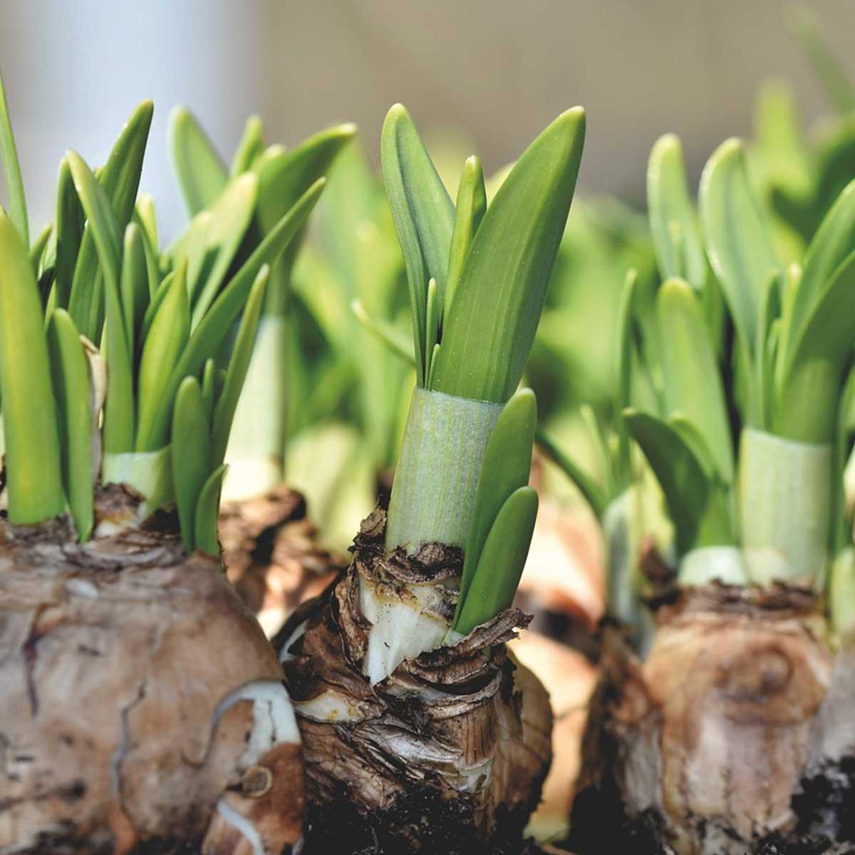 Jardín en temporada de otoño: 10 tareas claves para su cuidado - Siembra de bulbos