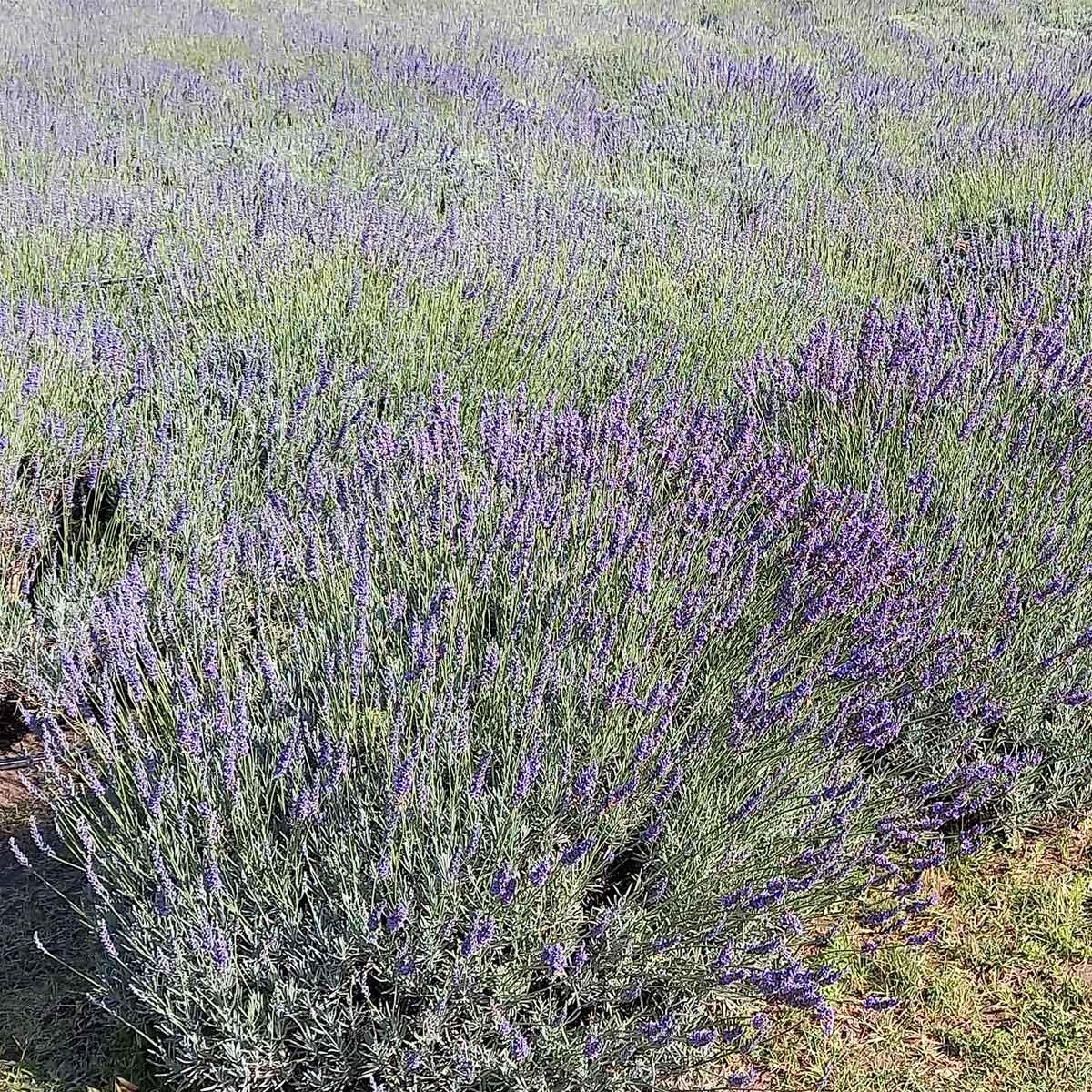 Cultivo de lavándulas: un rincón fragante en La Cumbre (Córdoba, Argentina)