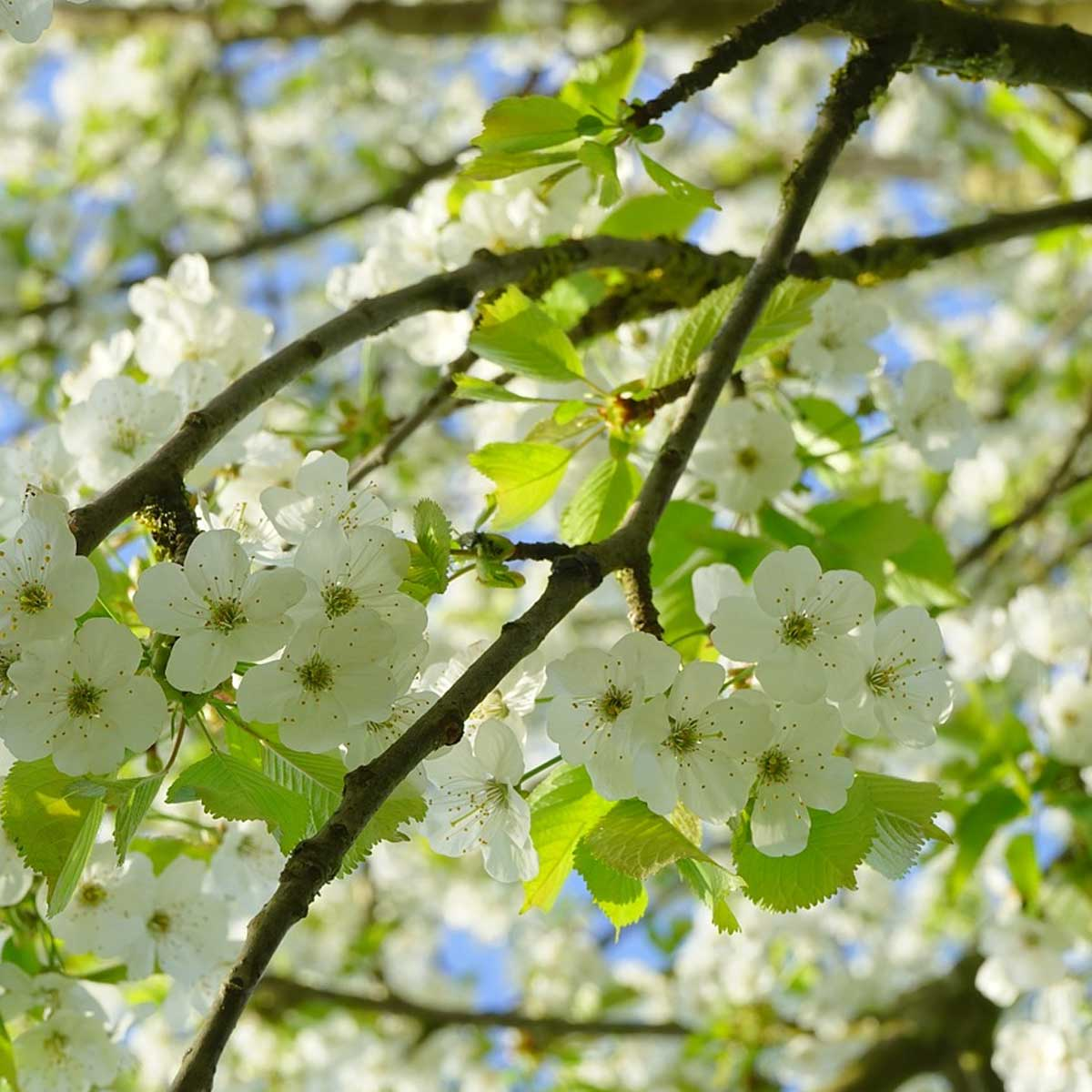 Jardines de vida silvestre - Cerezo silvestre (Prunus avium)