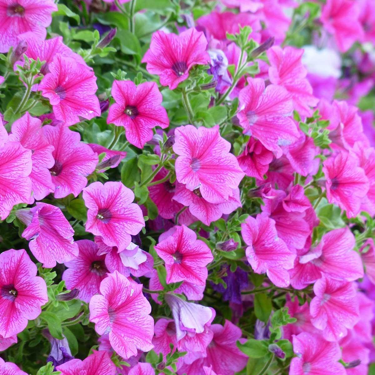 Plantas primaverales y jardinería - Petunia