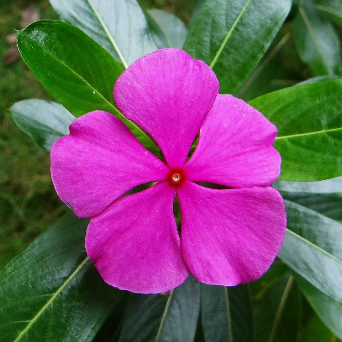 Plantas primaverales y jardinería - Vinca rosa