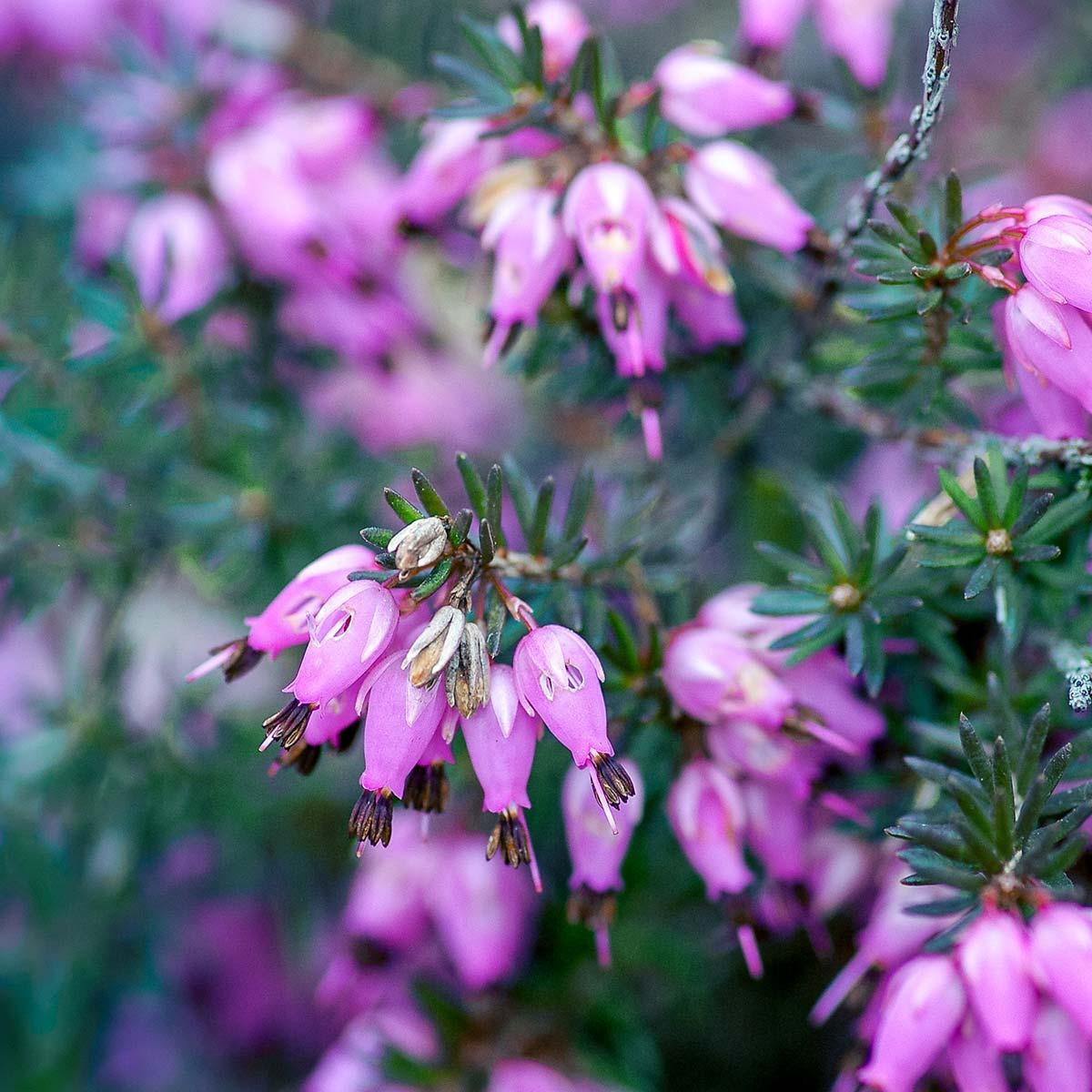 Arbusto decorativo - Brezo