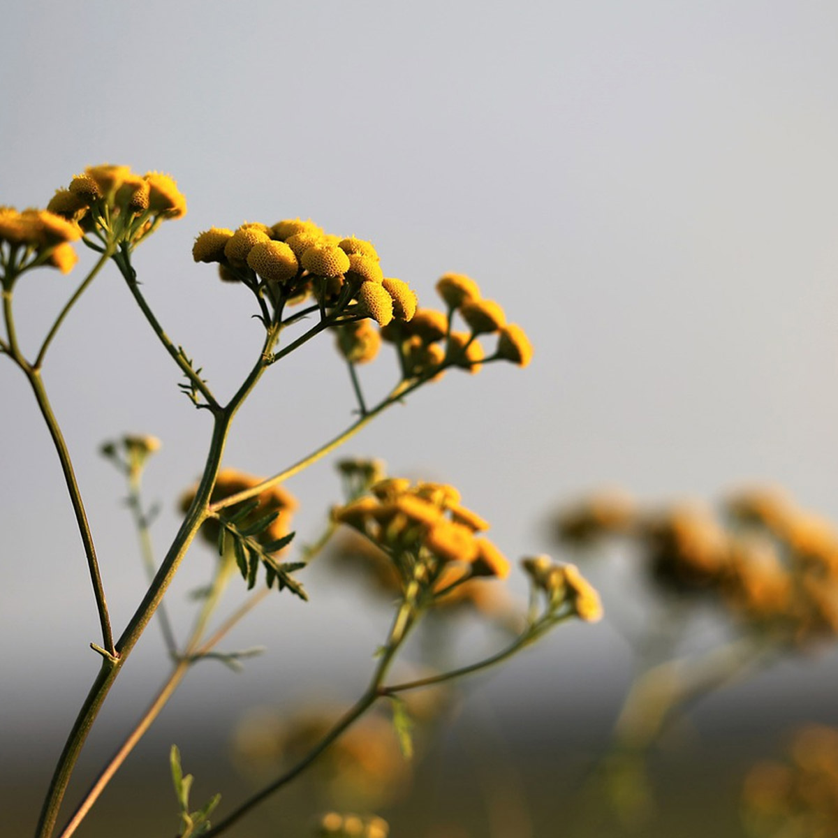 Arbustos mediterráneos ornamentales [Los 5 más decorativos] - Helicriso